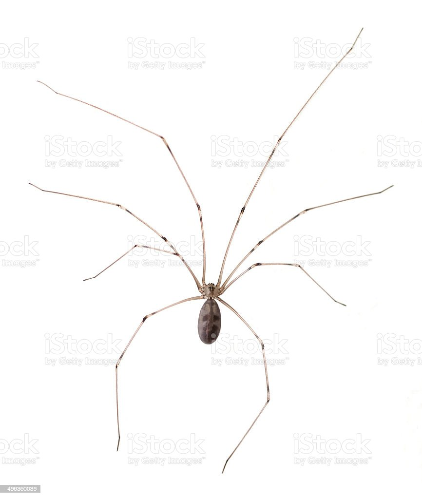 Long Bodied Cellar Spider Isolated stock photo