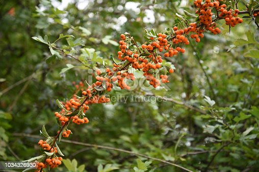 long branch of scarlet firethorn (Pyracantha coccinea) with orange fruits against a green background with copy space, selected focus