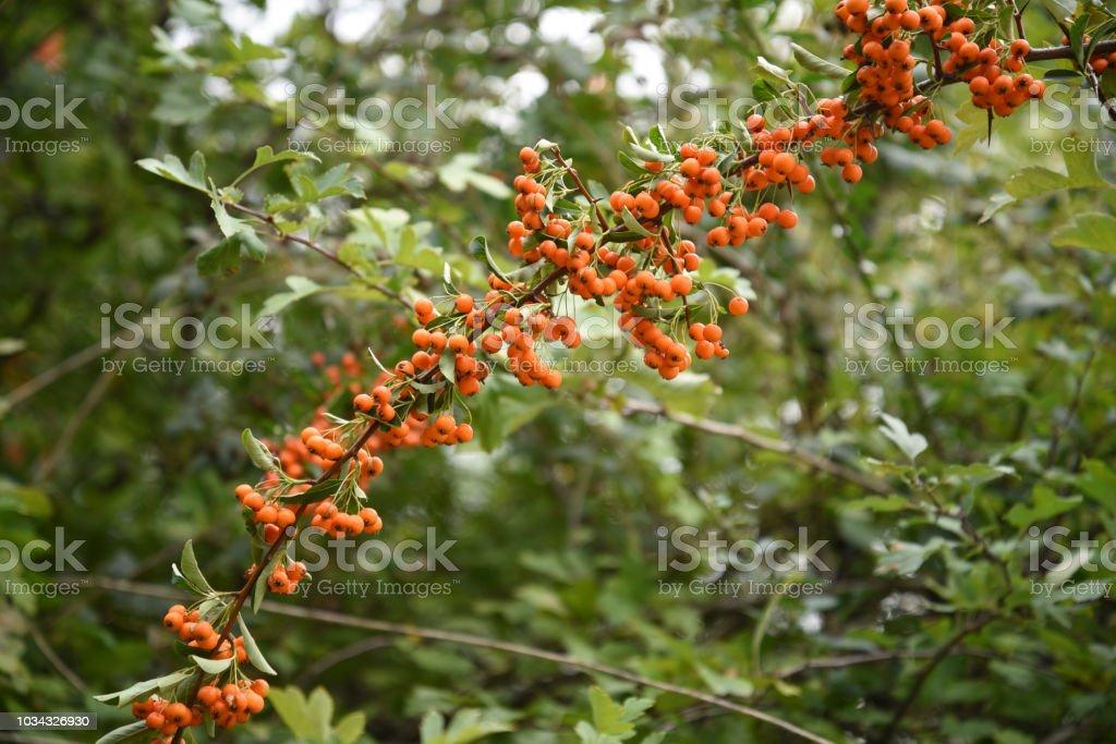 longue branche d'écarlate buisson ardent (Pyracantha coccinea) avec des fruits orange sur un fond vert avec espace copie - Photo