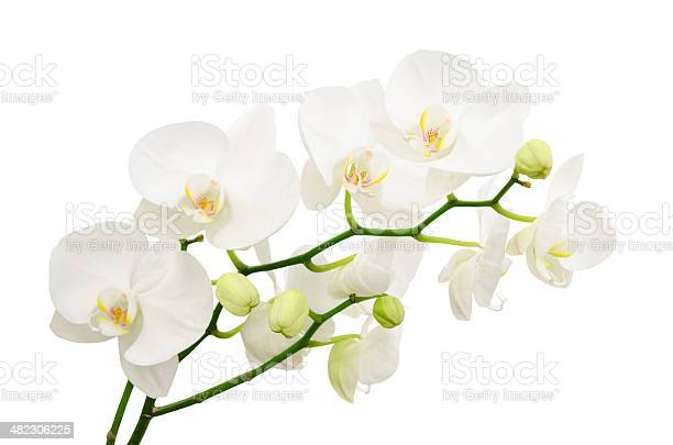 Long branches of bouquet delicate white orchid flowers picture id482306225?b=1&k=6&m=482306225&s=612x612&h=1mwimjzymmvgxlgf7wanbcoyybnhglckbrgsic4ptak=