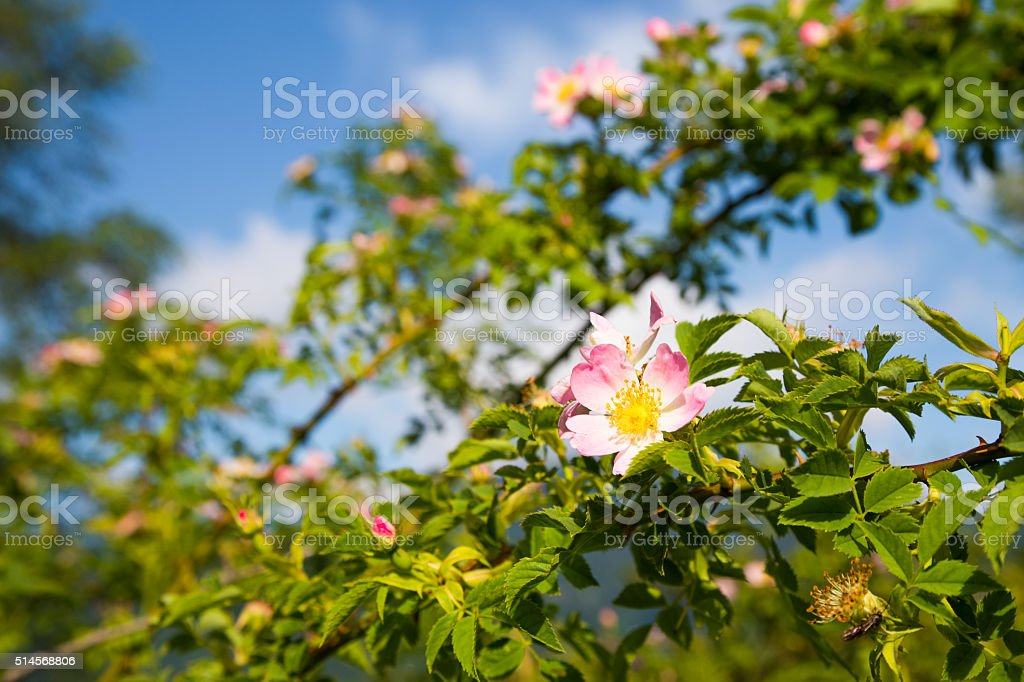 Long branches with dog-rose flowers stock photo