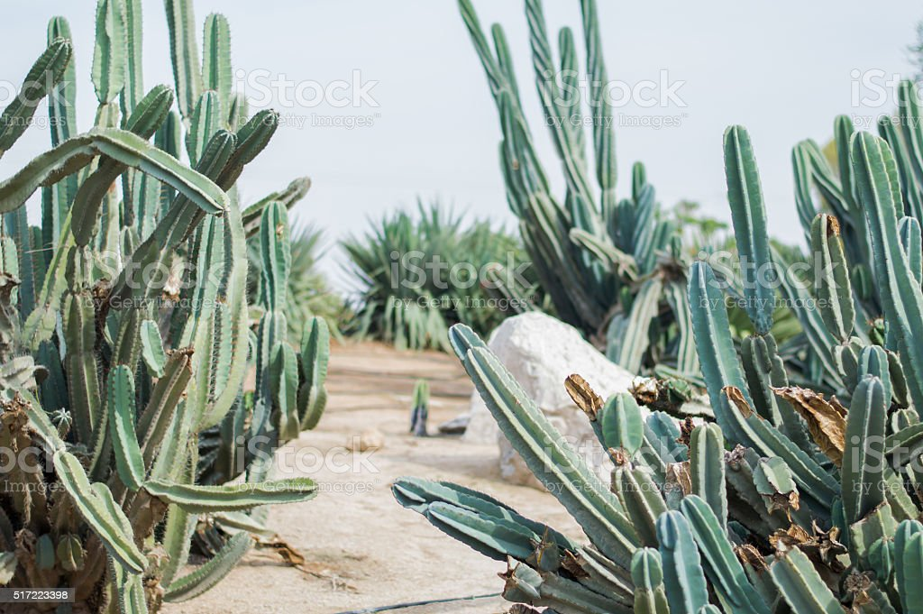 Long cactuses captured in a public park stock photo