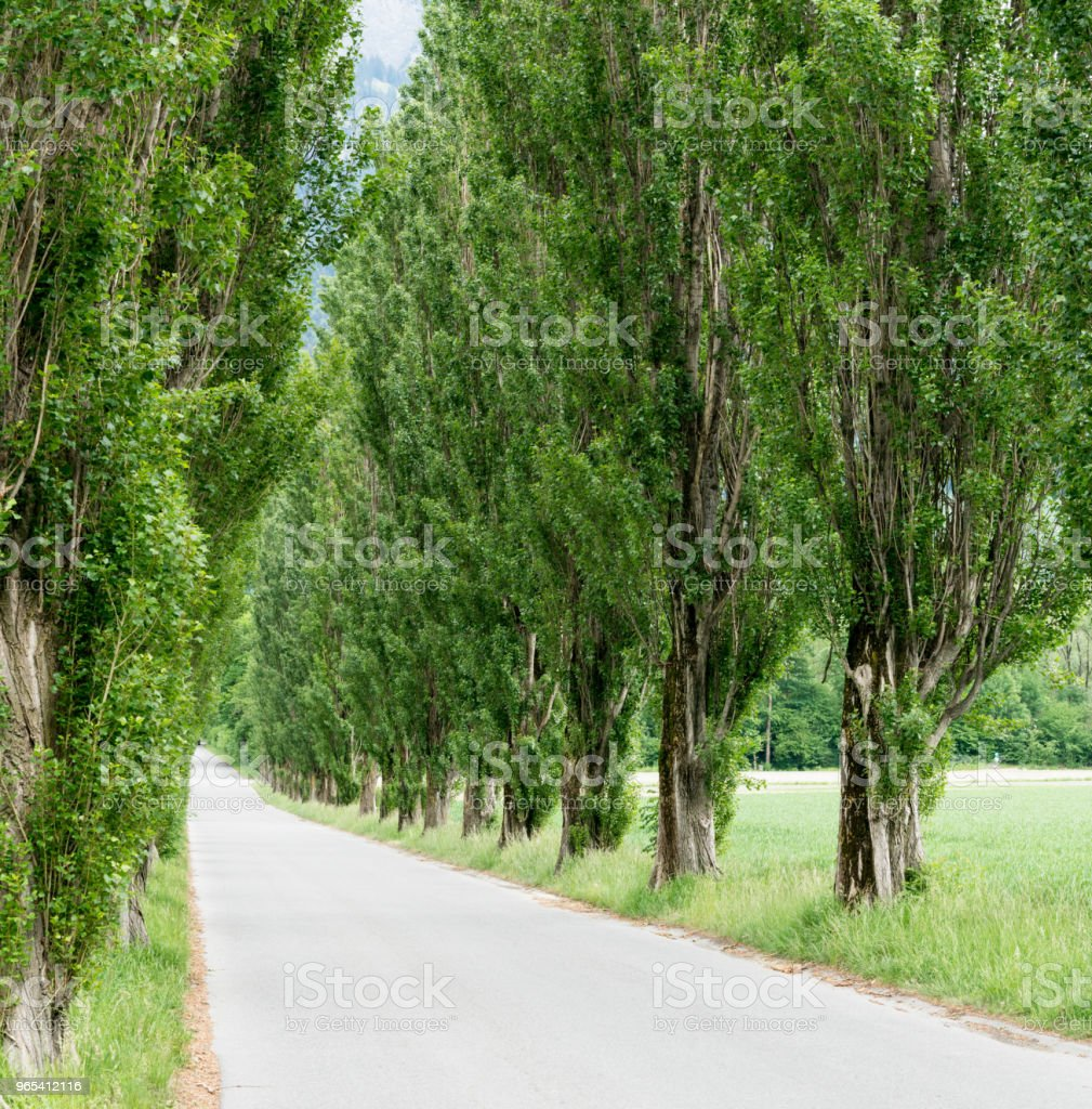 long country road bordered by large old poplar trees royalty-free stock photo