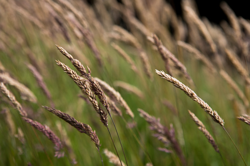 Long grass seed head with seeds isolated from the background
