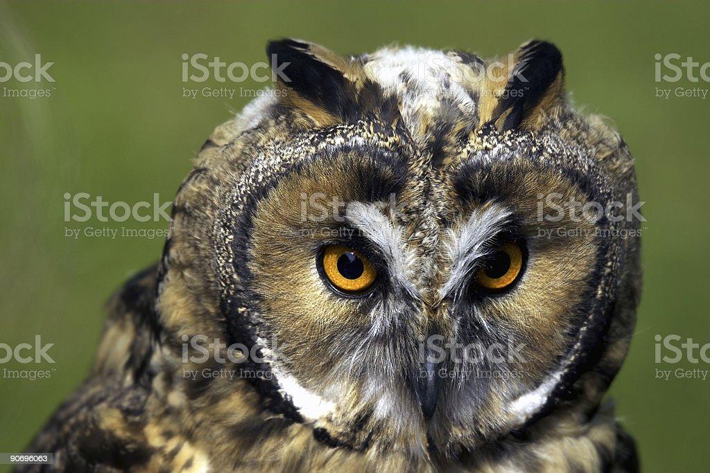 Long Ear Owl royalty-free stock photo