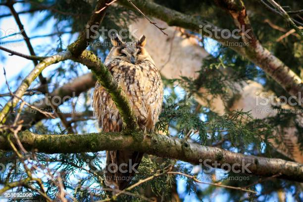 Long eared owl bird of prey perched in a tree picture id951692096?b=1&k=6&m=951692096&s=612x612&h=tut4g8 uhf851vqux6vy3jmiv0cuoucqhgbefemhcjg=