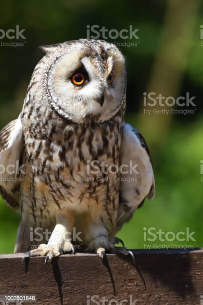 Long eared owl picture id1002801646?b=1&k=6&m=1002801646&s=612x612&h=py1p6 yssuidipa04sds9je hks6t blwqamoqhzwwe=
