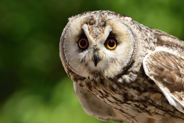 Long eared owl picture id1008052398?b=1&k=6&m=1008052398&s=612x612&w=0&h=pawtoda0jgorjd5cod5aj56mhmunhskev8k0qvz3cva=
