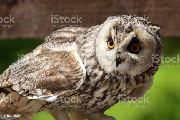 Long eared owl picture id1045621694?b=1&k=6&m=1045621694&s=612x612&h=drcpfvjtzp6qqf9td y6nbqdc5jjrblfdmggczzhpgu=