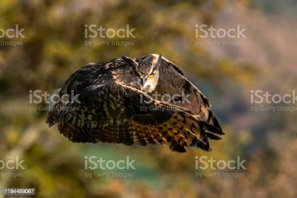 Long eared owl picture id1194469067?b=1&k=6&m=1194469067&s=612x612&h=ayfgmvozhaia4g7sll5plawm9vcuw41htnedd0f5oek=