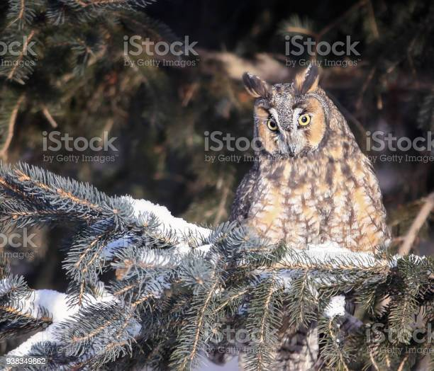 Long eared owl picture id938349662?b=1&k=6&m=938349662&s=612x612&h=h2iengtgmsrn7ffdr9zkno71duy9e3mphstr5golwjy=