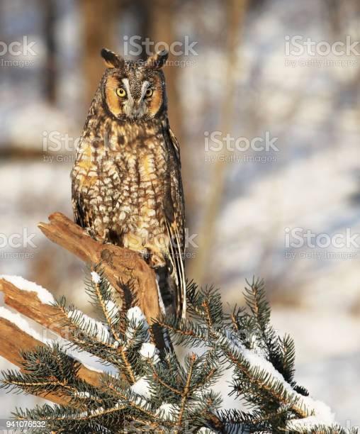 Long eared owl picture id941076532?b=1&k=6&m=941076532&s=612x612&h=avsr8ky19pvkp3dffsequbtsymbilupzp4rdtr8pglq=