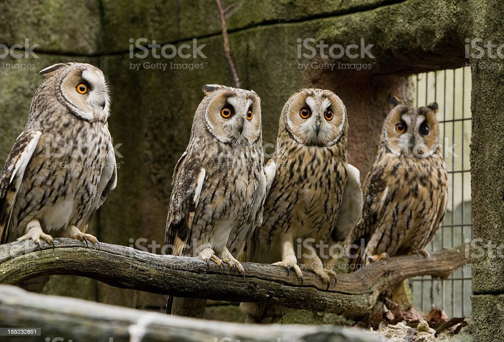 Long Eared Owls royalty-free stock photo