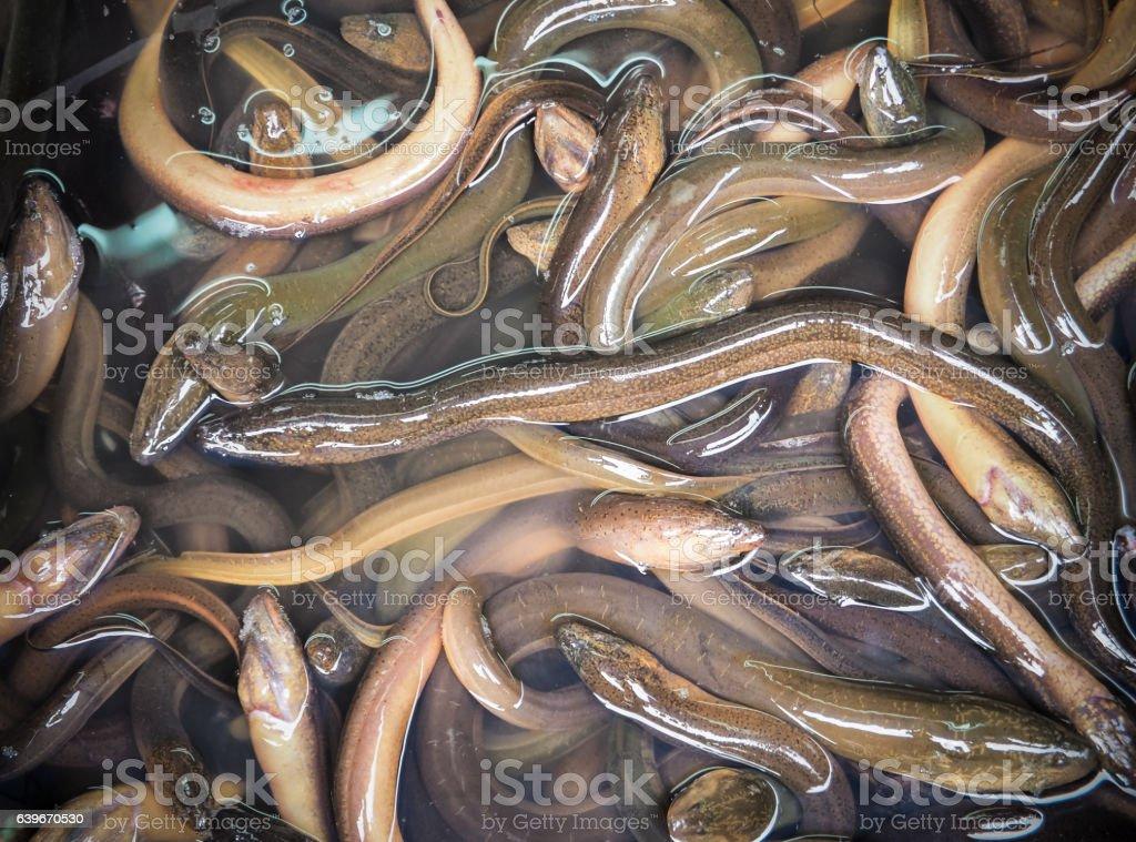 Long eels - Photo