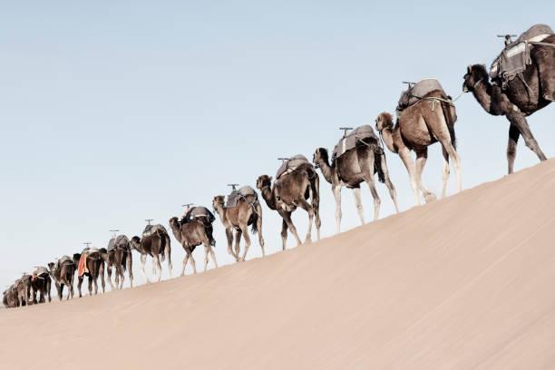 A long, endless caravan of camels (dromedary) at Erg Chebbi in Merzouga, Sahara desert of Morocco. stock photo