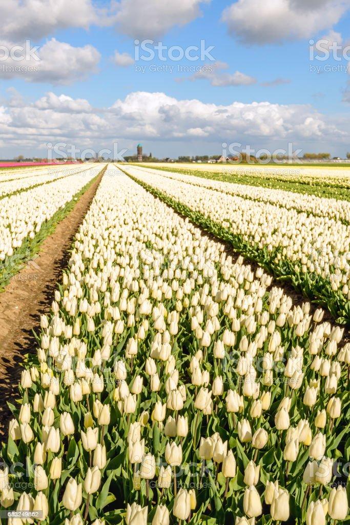 春天盛開的鬱金香花長床 免版稅 stock photo