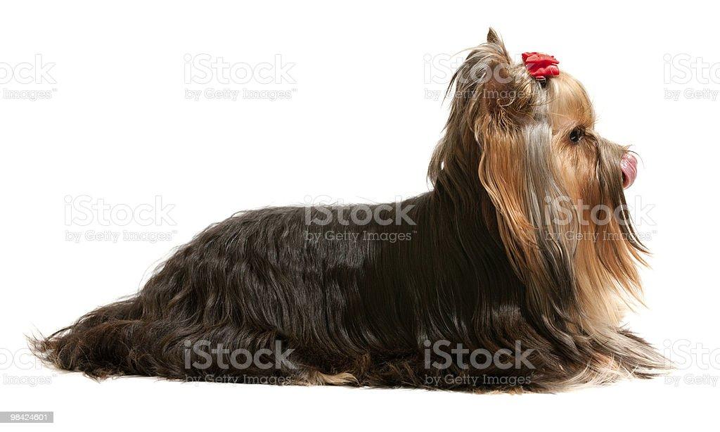 Long fured yorkie pet royalty-free stock photo