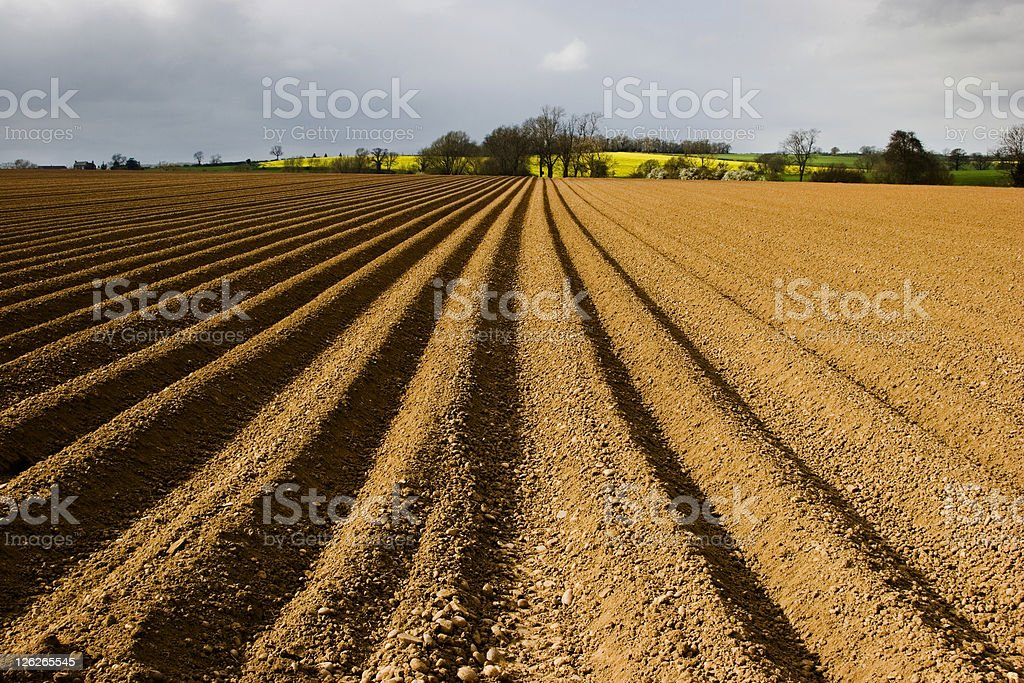 Long furrows in ploughed field of potatoes royalty-free stock photo