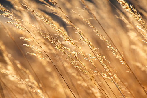 long golden grass with spikelets in the sun