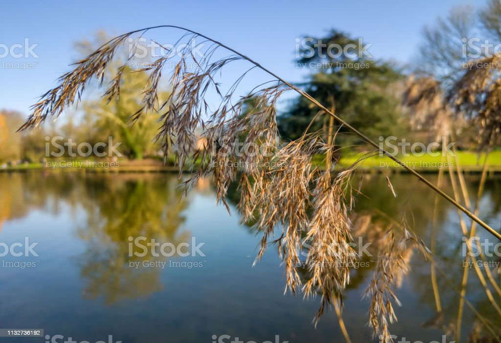 Long grass by a river stock photo