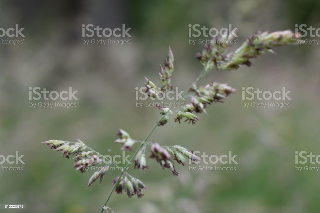 Long Grass Close-Up stock photo