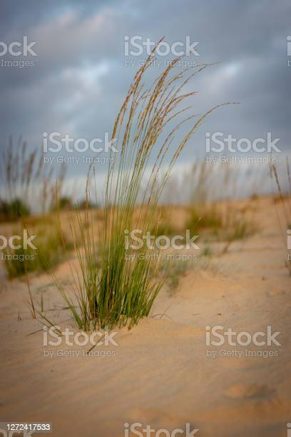 Photo of Long grass growing out of the sand