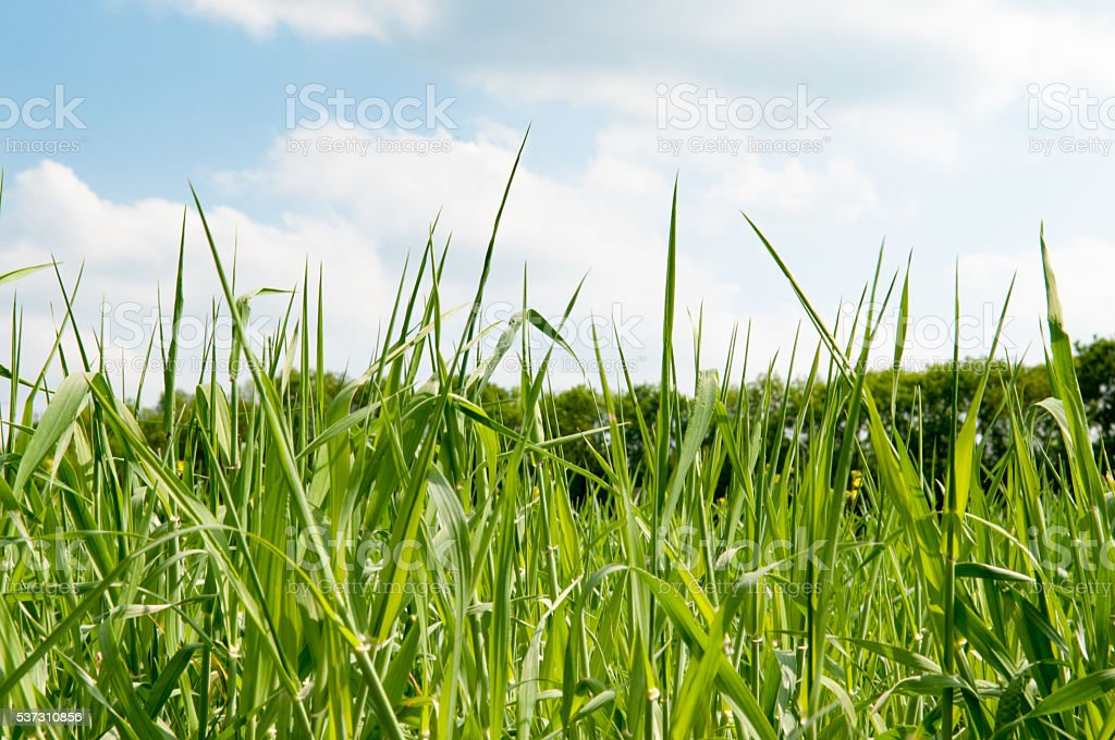 Long grass in a field with sunlight stock photo