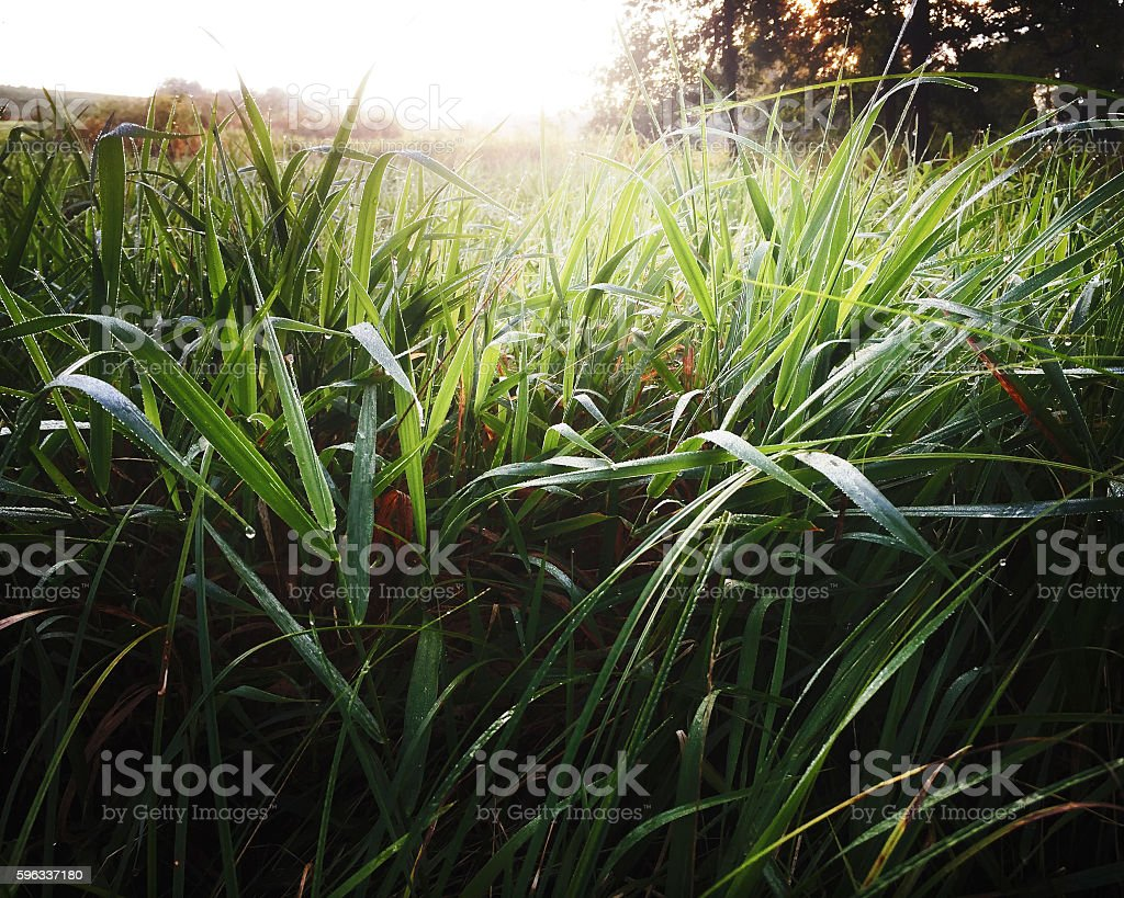 Long Grass in Meadow at Dawn royalty-free stock photo