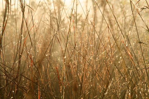 Close-up of long golden grasses backlit with dew drops