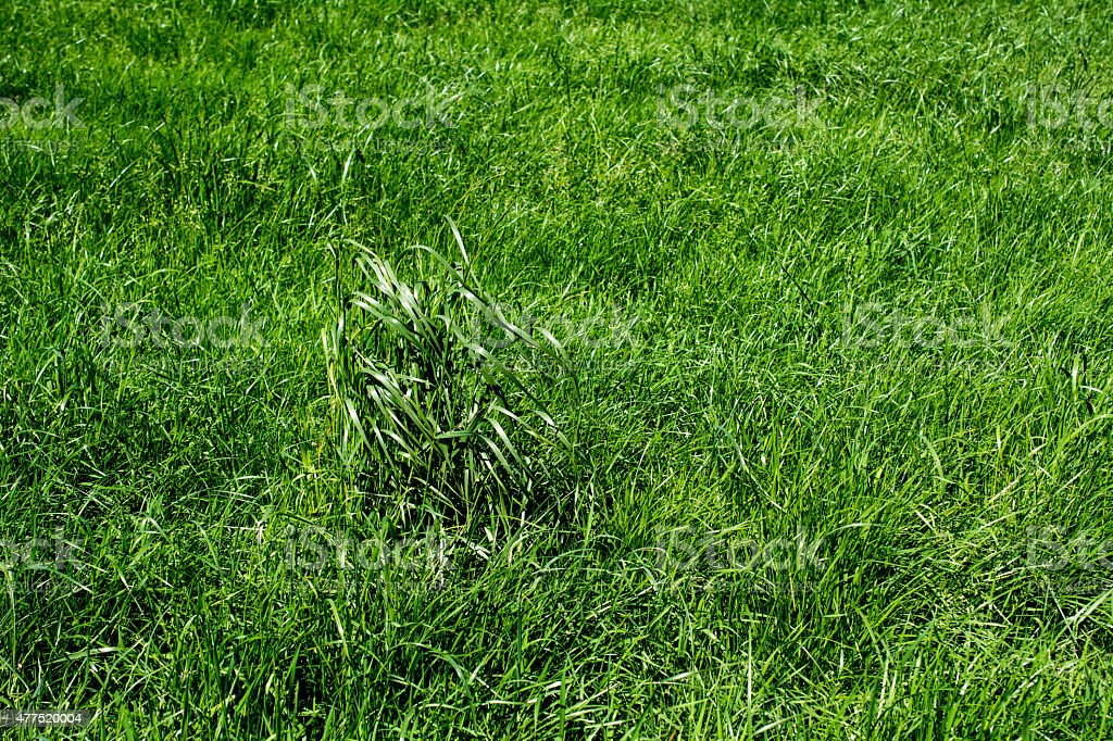 Dry long grass in a meadow