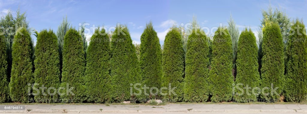 Long green fence hedge from green  thuja trees  panoramic collage. Sunny rural day stock photo