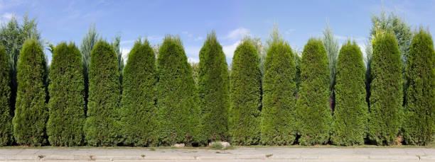 long green fence hedge from green  thuja trees  panoramic collage. sunny rural day - der geheime garten stock-fotos und bilder