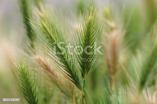 Long green sunlit grass