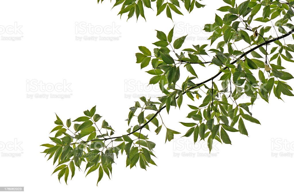 Long green tree branch isolated on white background stock photo