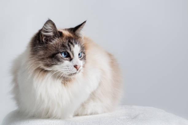 Long hair domestic cat - Ragdoll. stock photo