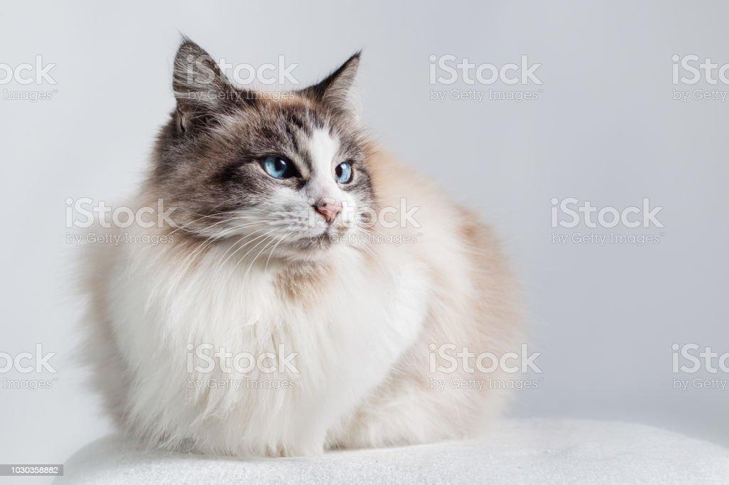 Gato doméstico de cabelos longos - Ragdoll. - foto de acervo