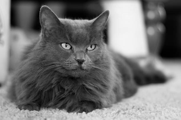 Long hair Nebelung gray cat laying on the carpet. stock photo