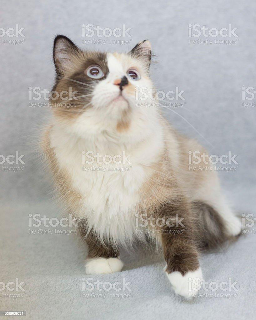 Long Hair Persian Mix Breed Cat Sitting stock photo