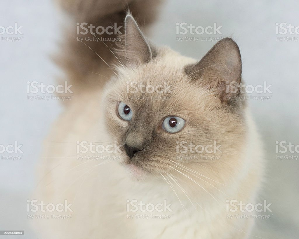 Long Hair Seal Point Cat Standing Stock Photo Download