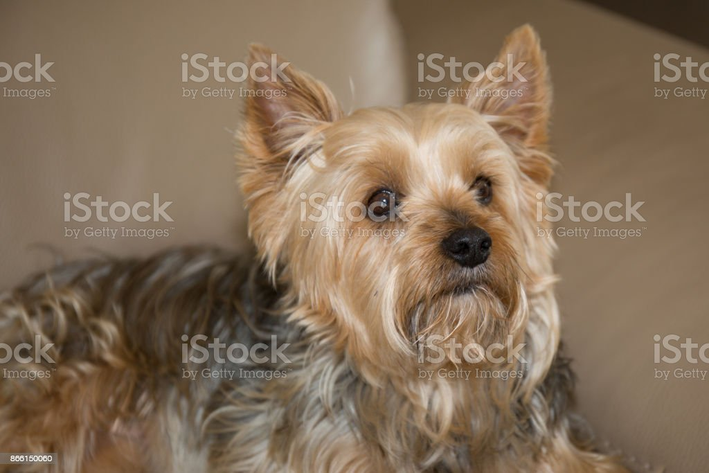 long hair yorshire terrier lying in a studio stock photo