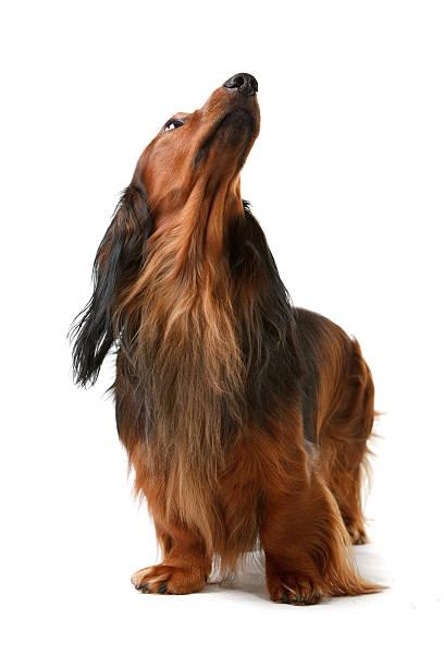 Long haired badger dog picture id108598419?b=1&k=6&m=108598419&s=612x612&w=0&h=fn0k3xykpeg5nqqkrkpnki5a rfxxogntfoxabyq34w=