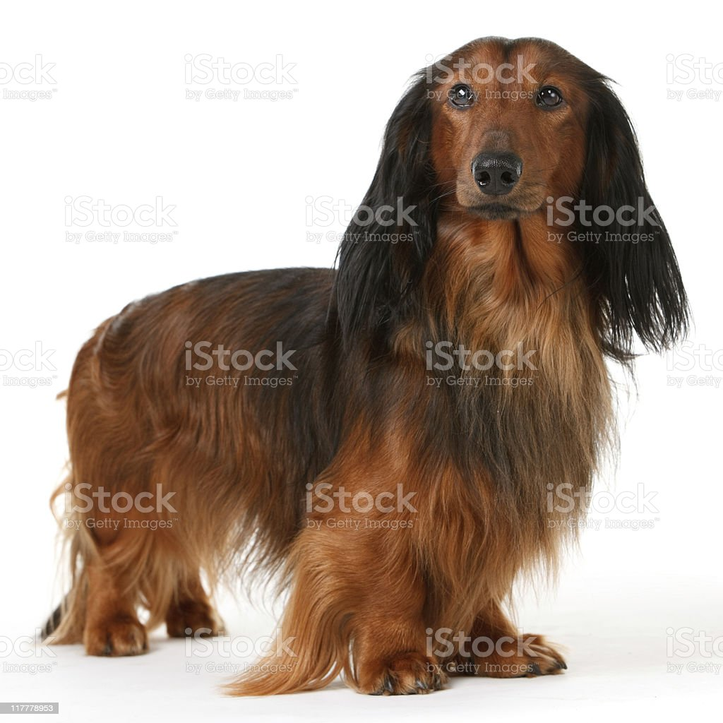 long haired badger dog royalty-free stock photo