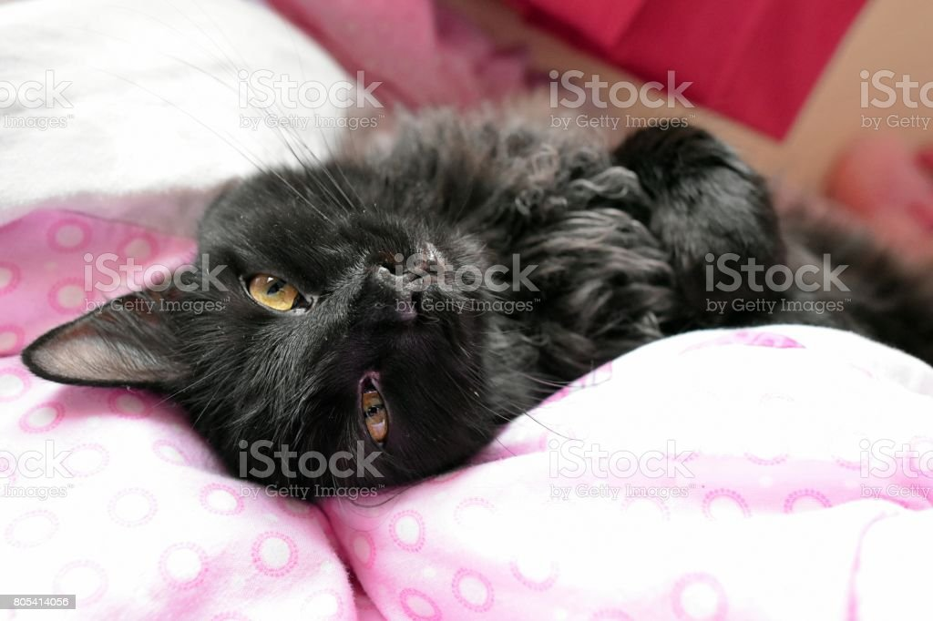 Long Haired Black Cat Laying On Back On A Childs Bed stock photo