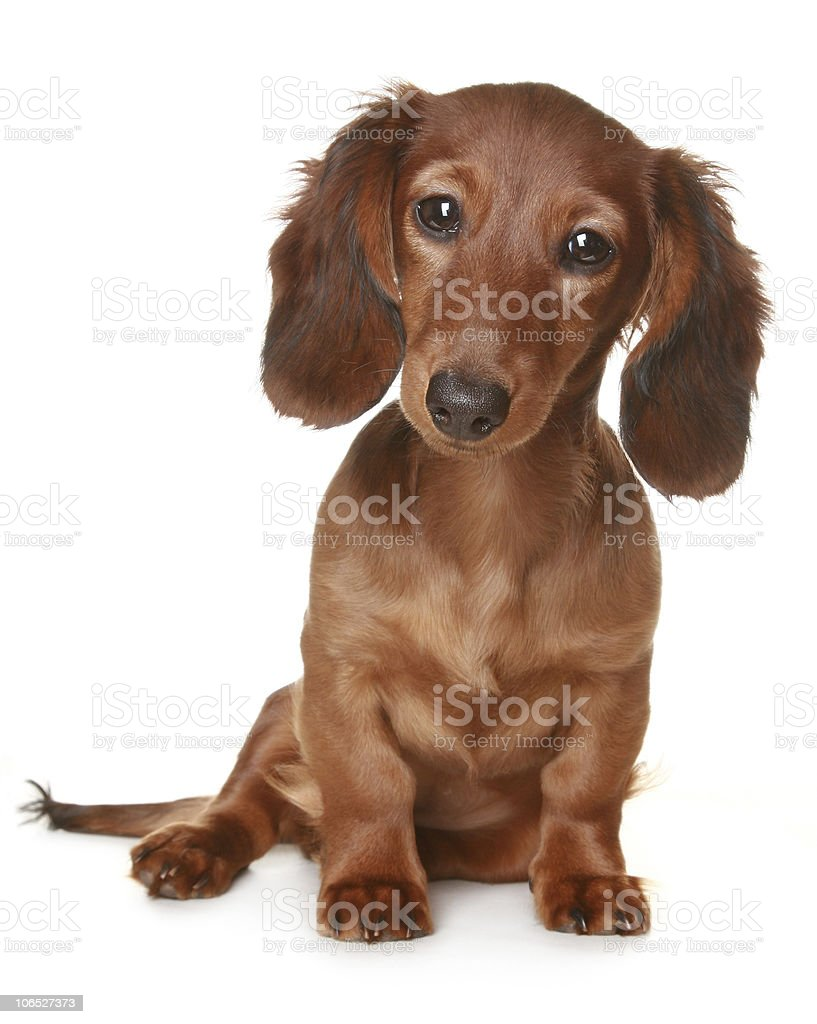 Long haired brown dachshund dog isolated stock photo
