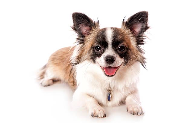 chihuahua à poils longs - chihuahua chien de race photos et images de collection