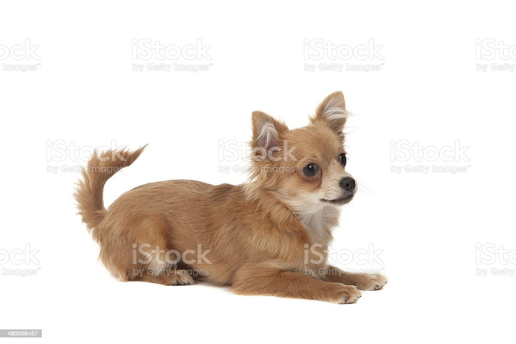 Long haired chihuahua puppy dog stock photo