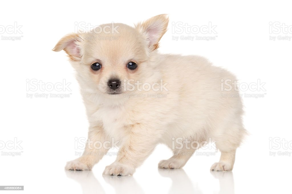 Long Haired Chihuahua Puppy Stock Photo Download Image Now Istock