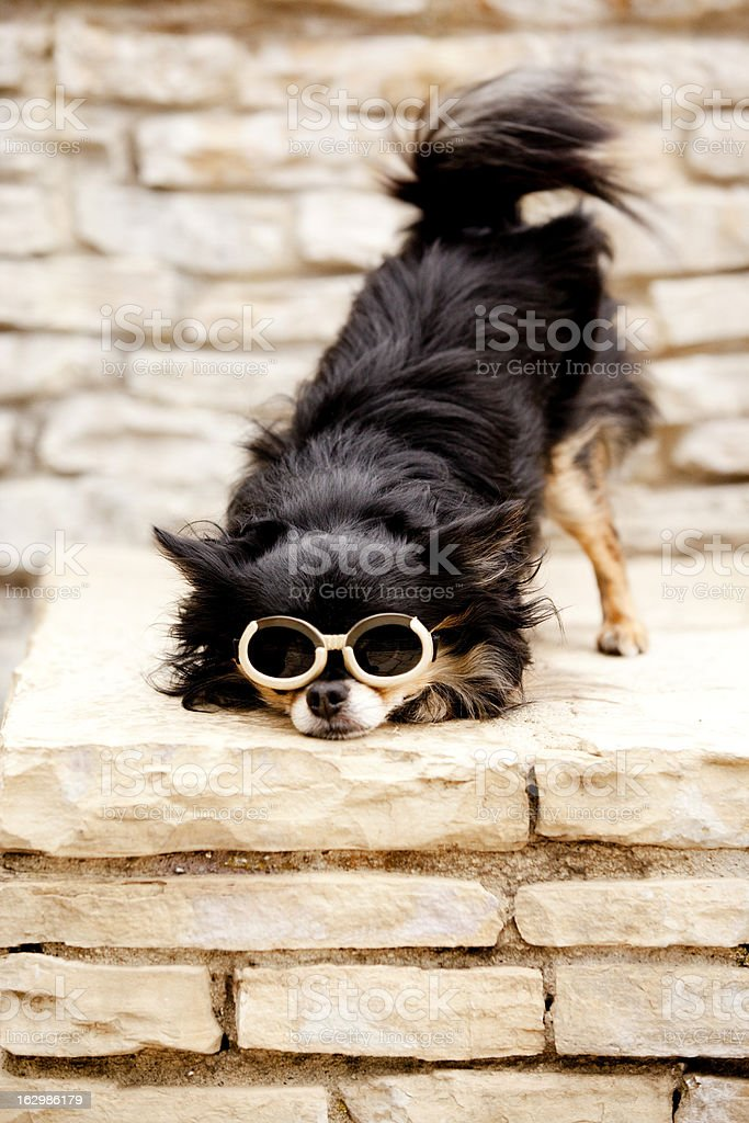 Long Haired Chihuahua Wearing Goggles Cute Pose royalty-free stock photo
