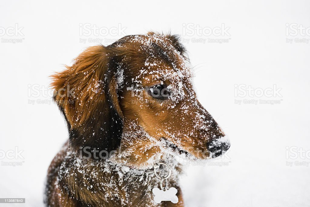 Long Haired Dachshund Winter Portrait stock photo