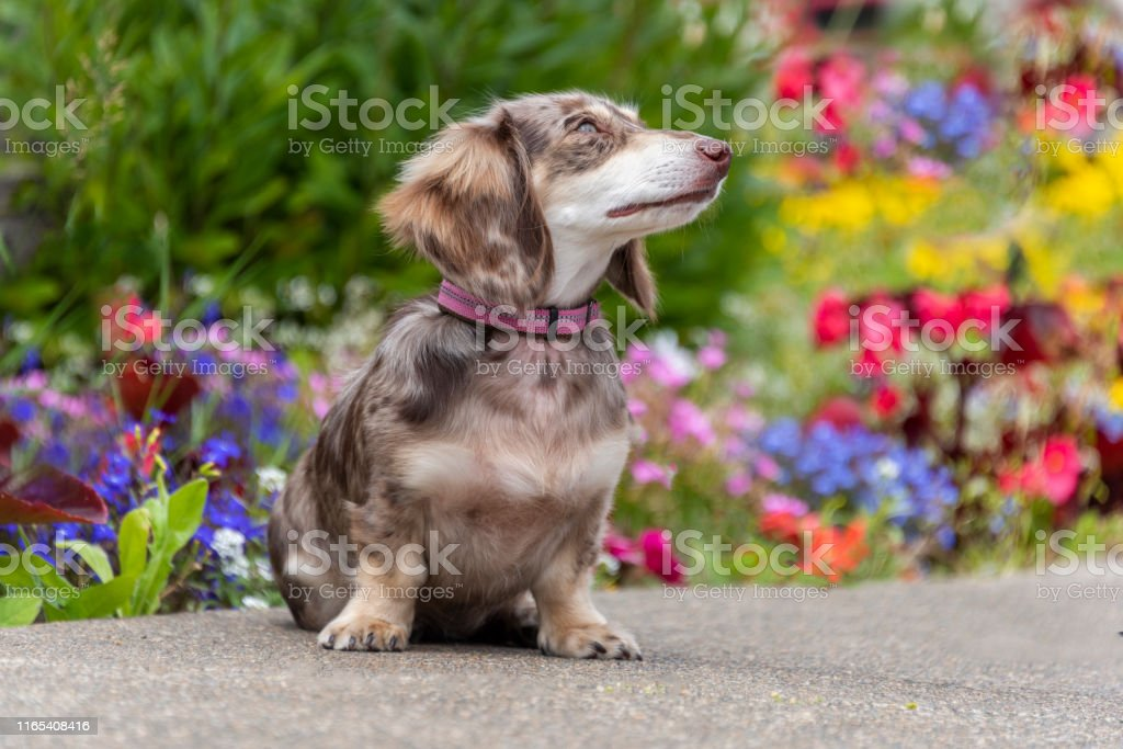 Long Haired Dapple Miniature Dachshund Doxie Puppy Dog Flowers Stock Photo Download Image Now Istock